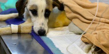جراحی  مگاکلون در یک سگ بومی